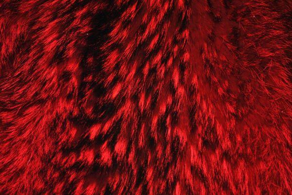 Енот красный
